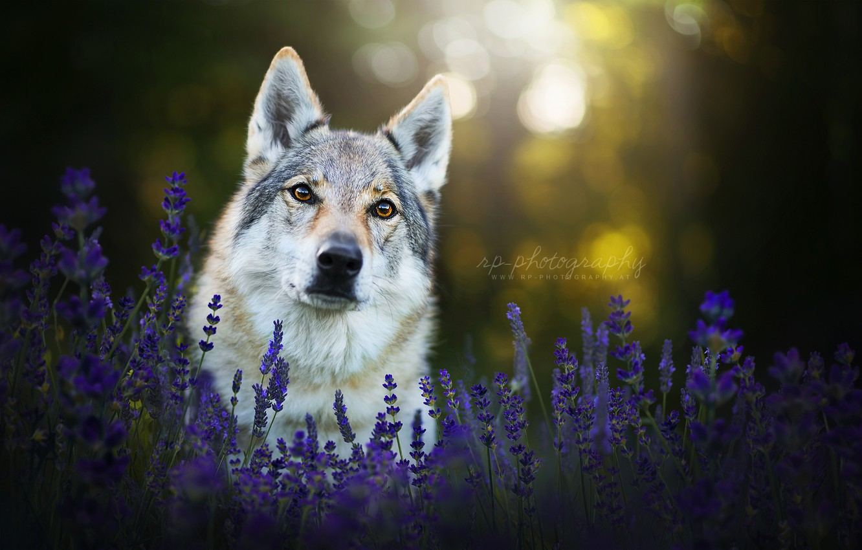 Фото обои взгляд, морда, цветы, собака, лаванда, чехословацкая волчья собака