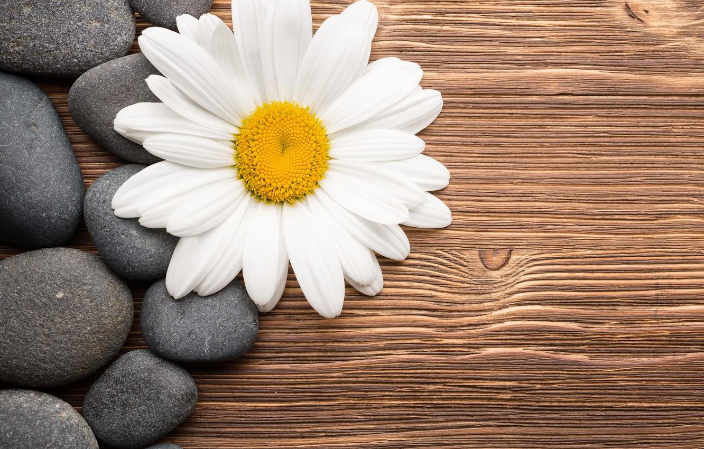 Фото обои цветок, камни, ромашка, wood, camomile