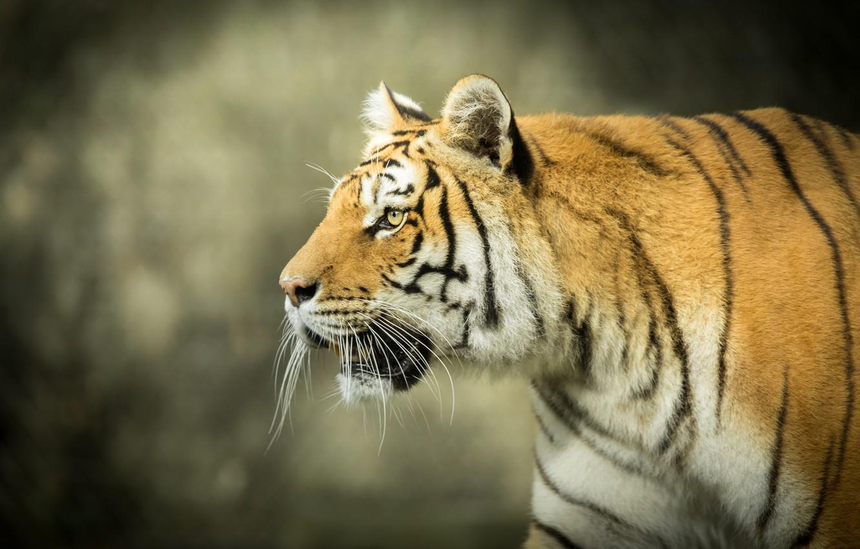 Фото обои морда, тигр, фон, хищник, профиль, дикая кошка, боке