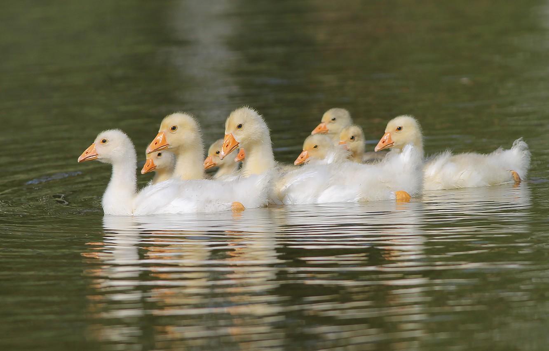 Фото обои вода, пруд, плывут, гусята