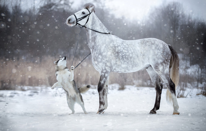 Фото обои зима, снег, лошадь, собака, уздечка