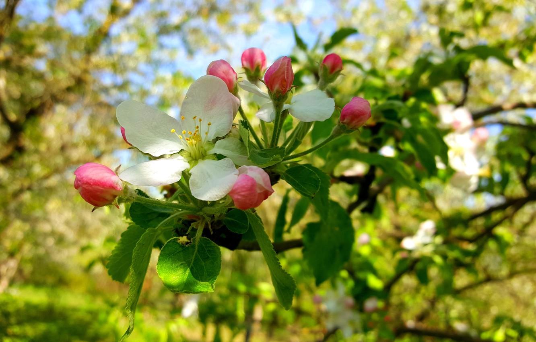 Картинки для рабочего стола цветы яблони