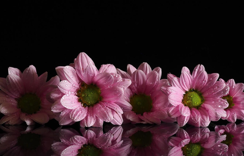 Фото обои капли, цветы, роса, отражение, фон, розовый, хризантемы, маргаритки