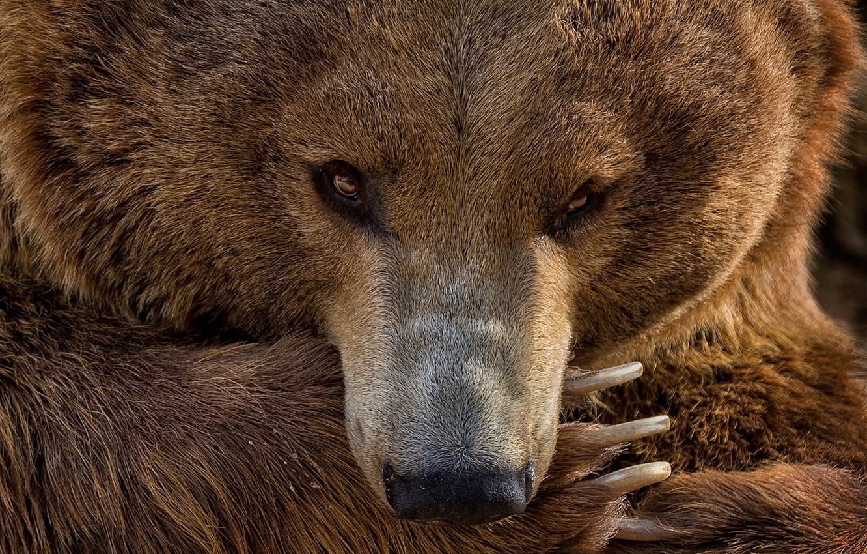 Фото обои взгляд, лапа, портрет, медведь, маникюр, медведица