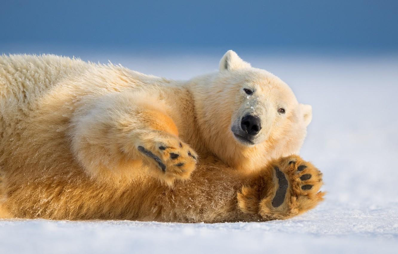 Фото обои зима, взгляд, природа, лапа, белый медведь