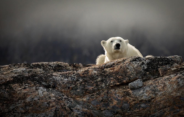 попробовать оригинальные медведь белый полярный фотообои жарила