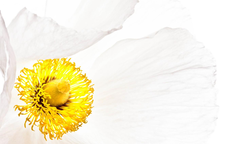 Фото обои белый, цветок, мак, лепестки