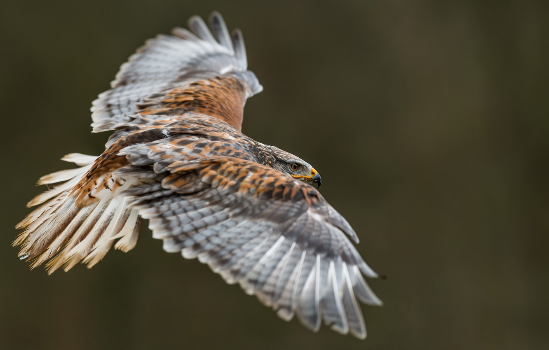 Фото обои птицы, хищник, полёт, орёл, золотой орёл