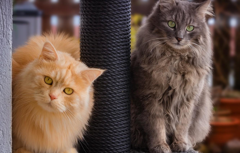 Фото обои кошка, кот, пара, друзья