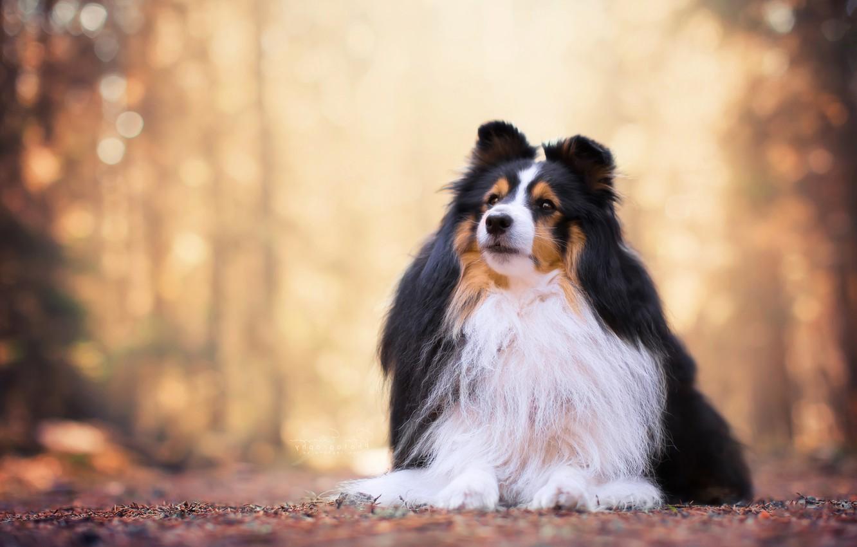 Фото обои портрет, собака, боке, шелти, шетландская овчарка