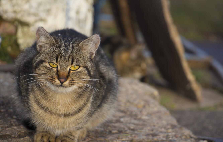 Фото обои кот, взгляд, сидит, пушистик