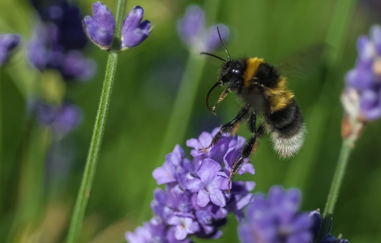 Фото обои цветок, макро, пчела, растение, насекомое, шмель