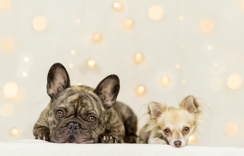 Фото обои взгляд, фон, парочка, две собаки, Чихуахуа, Французский бульдог