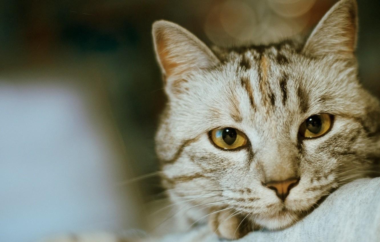 Фото обои eyes, Cat, animal, fur, ears, close up, whiskers, depth of field, feline, snout, intense look