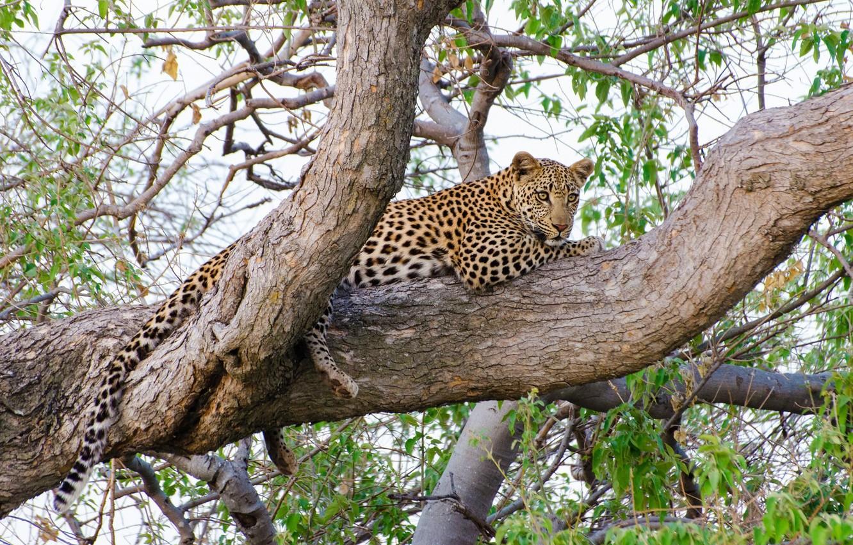 Обои на дереве, отдых, дикая кошка, леопард, африка, Хищник, лежит. Животные foto 9