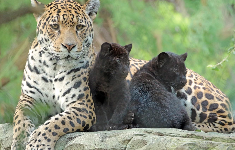 Фото обои животные, семья, малыши, забота, мама, зоопарк, ягуары
