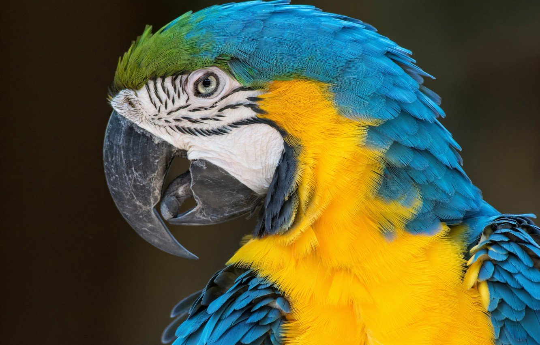 Обои птицa, Сине-жёлтый ара, Попугай. Животные foto 7