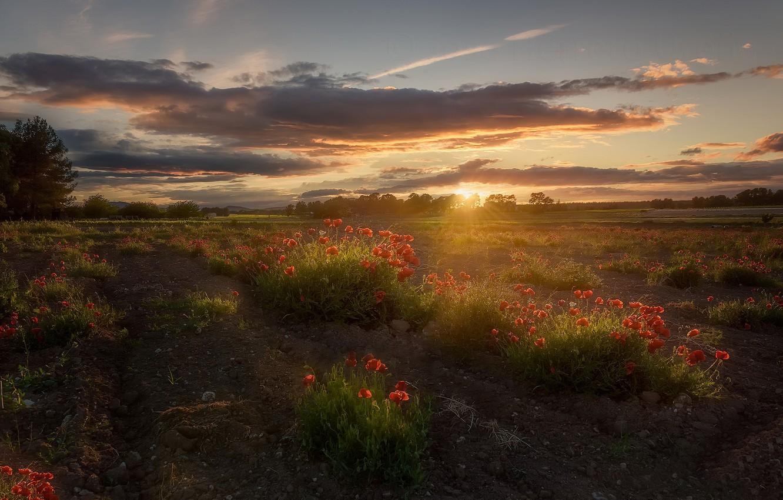 Фото обои поле, закат, маки