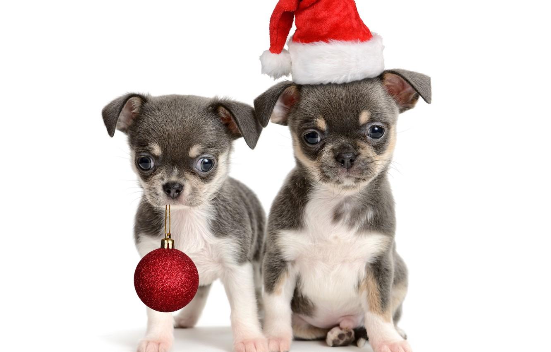 Фото обои шапка, шар, шарик, щенки, щенок, Новый год, Christmas, puppy, колпак, New Year
