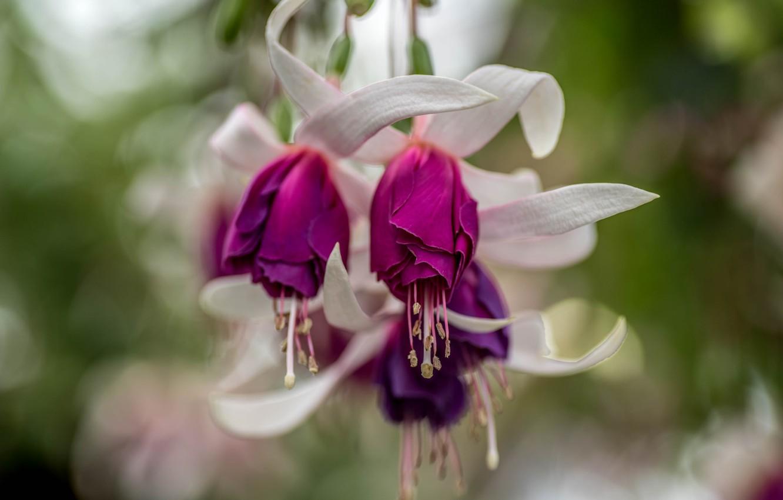 Фото обои Цветы, цветение, фуксия