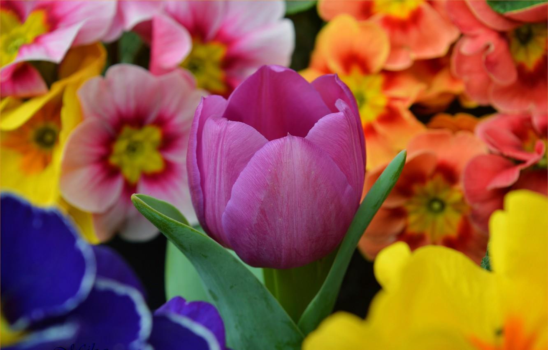 Фото обои Цветы, Весна, Тюльпан, Flowers, Spring, Tulip, примула, Purple tulip, Фиолетовый тюльпан, Primrose