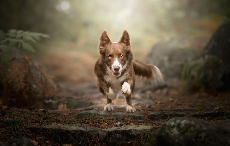 Фото обои собака, бег, Dog Photography
