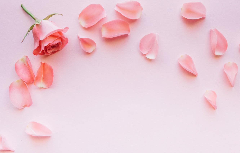 Фото обои цветы, розовый, роза, лепестки