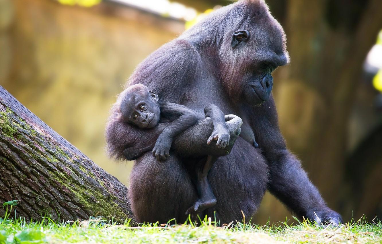 картинки обезьяны и детеныша бреста впитала