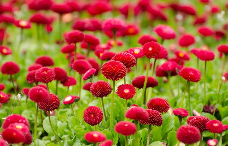 Фото обои blossom, flowers, маргаритки, bloom, flora