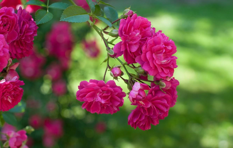 Фото обои роза, ветка, боке, Роза плетистая