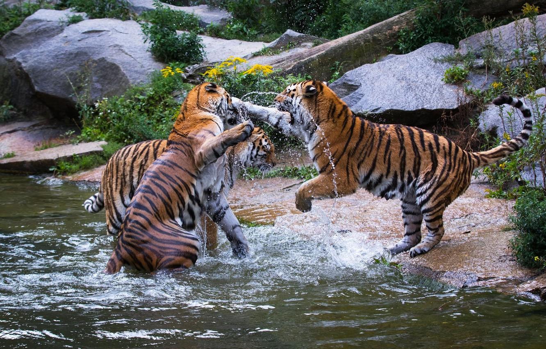 Фото обои игра, хищники, драка, дикие кошки, тигры, трио