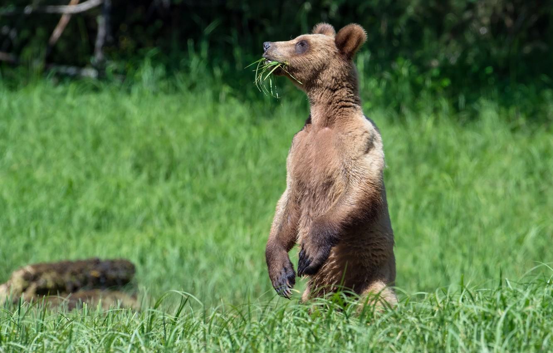 Фото обои трава, медведь, стойка, вегетарианец