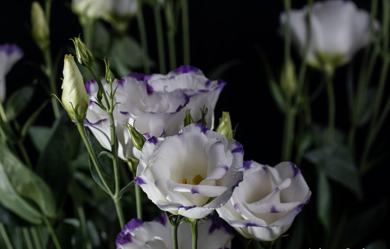 преподаватели цветы эустома обои на рабочий стол вполне можем