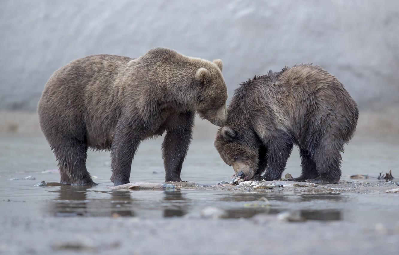 Фото обои медведи, медвежонок, медведица