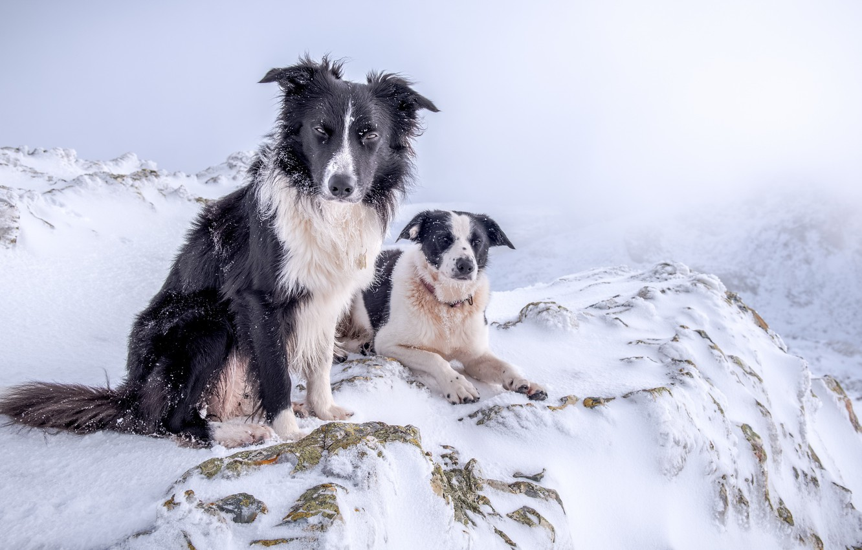 Фото обои зима, собаки, снег