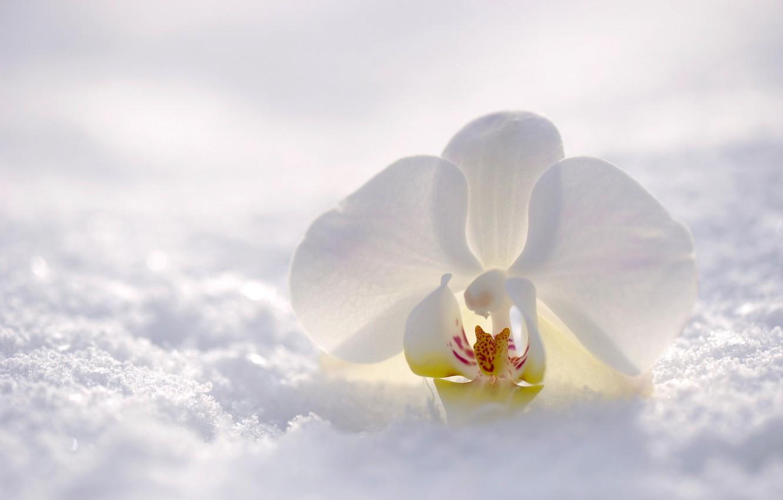 Фото обои зима, цветок, снег, природа, орхидея