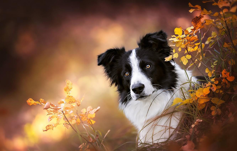 Фото обои трава, взгляд, морда, ветки, фон, портрет, собака, боке, Бордер-колли