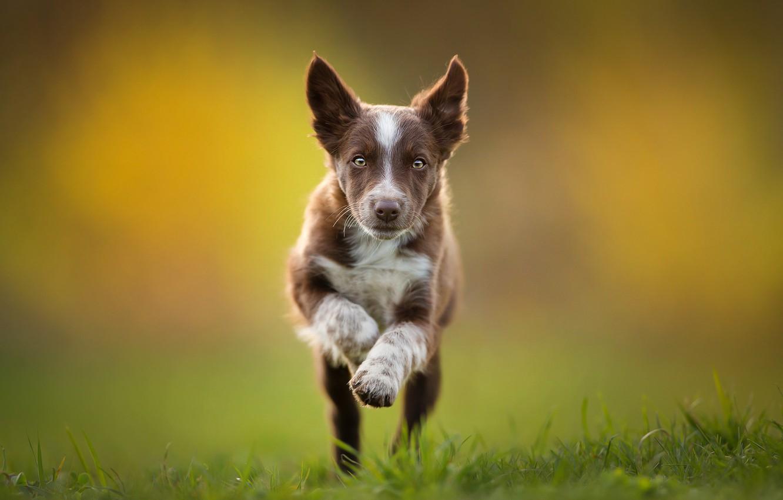 Фото обои бег, щенок, коричневый, Бордер-колли, Tissaia ♥