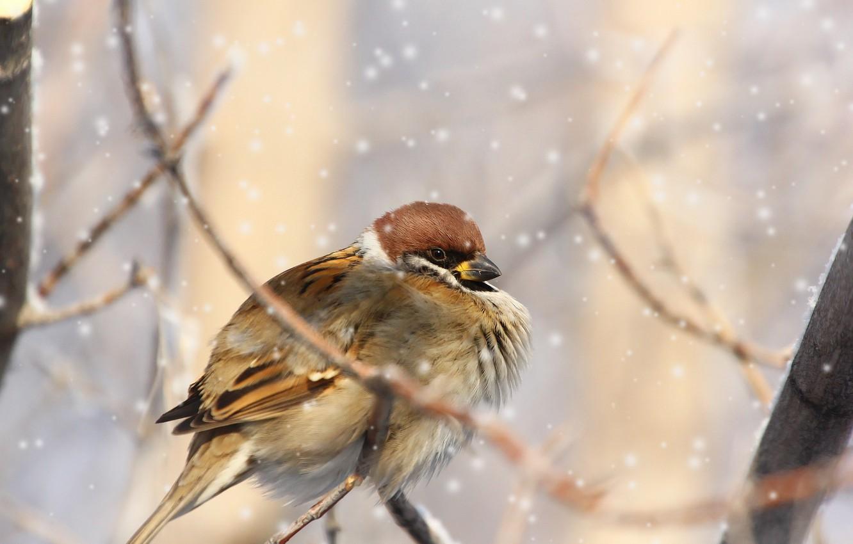 зимующие птицы картинка воробей для таких целей