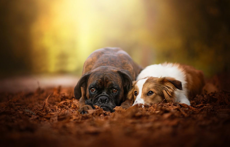 Фото обои осень, собаки, листья, пара, боке, две собаки, Боксёр