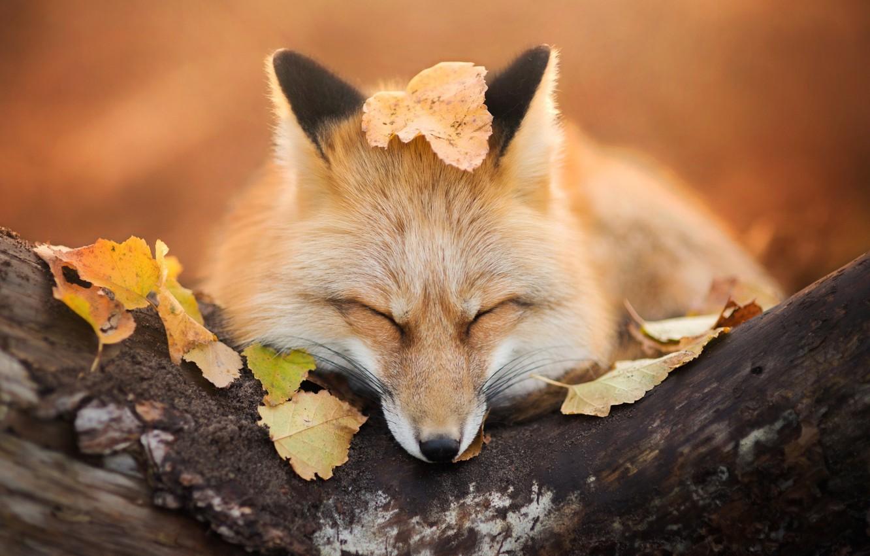 Обои Fox. Лисы foto 16
