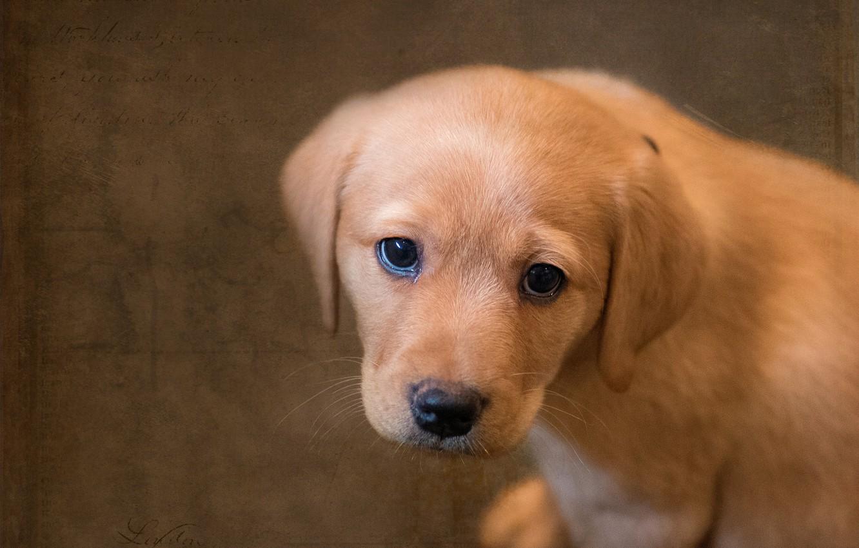 Фото обои взгляд, фон, собака, текстура, щенок, мордашка, Лабрадор-ретривер