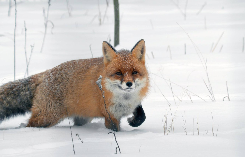 Фото обои зима, снег, лиса