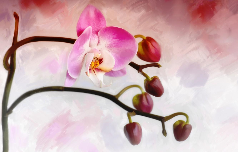 Фото обои цветок, бутон, орхидея
