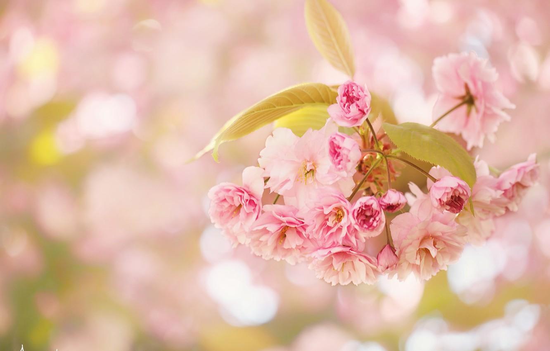 Фото обои макро, вишня, ветка, цветение, цветки, боке