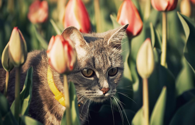 Картинки кот тюльпаны