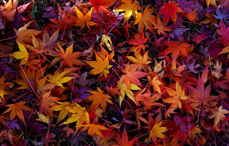 Фото обои осень, листья, colorful, background, autumn, leaves, осенние, maple