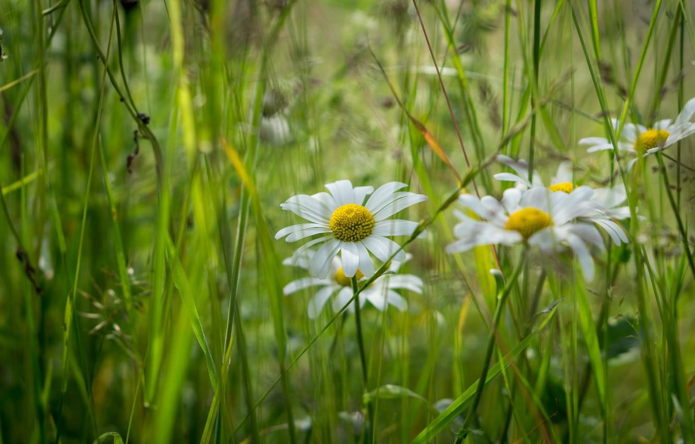 Трава с ромашками фото что укус