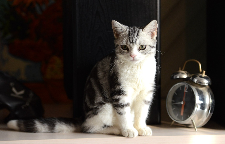 Фото обои photography, kitten, Cat, bokeh, animal, clock, paws, fur, ears, whiskers, alarm clock, feline, snout