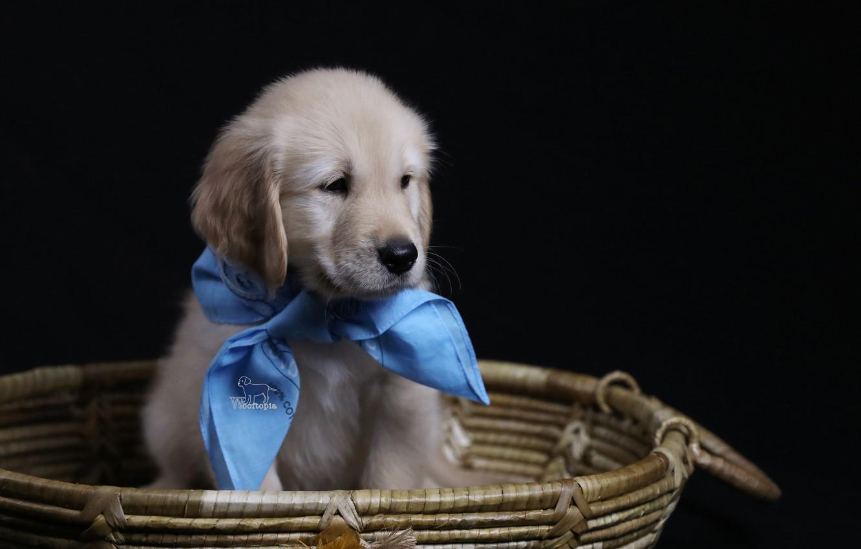 Фото обои фон, корзина, собака, щенок, косынка, Голден ретривер, Золотистый ретривер
